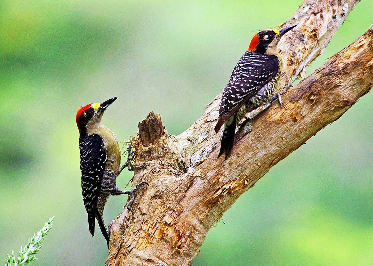 belize-woodpeckers