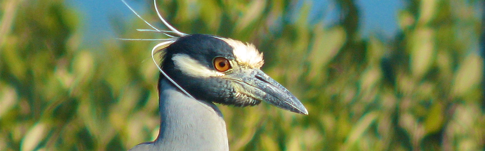 Yellow Crowned Night Heron, The Audubon Shop is the best shop for birders, Madison, CT